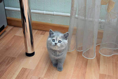 1920 X 1281 219.6 Kb Питомник британских кошек Cherry Berry's. Есть британские котята!
