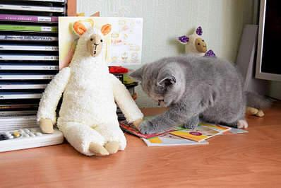 1920 X 1281 290.0 Kb 1920 X 1281 219.6 Kb Питомник британских кошек Cherry Berry's. Есть британские котята!