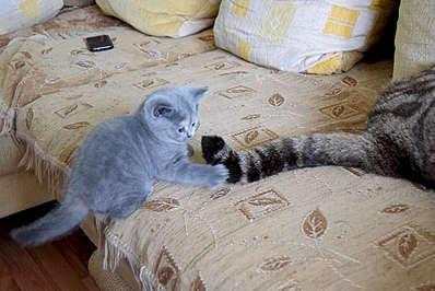 1920 X 1281 349.2 Kb Питомник британских кошек Cherry Berry's. Есть британские котята!