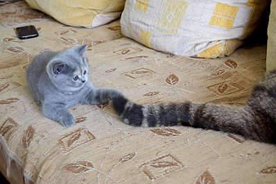 1920 X 1281 370.1 Kb 1920 X 1281 349.2 Kb Питомник британских кошек Cherry Berry's. Есть британские котята!