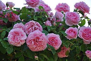 640 X 425 72.1 Kb Саженцы английских роз (ЗКС), флоксов, дельфиниумов, стол.винограда и др.
