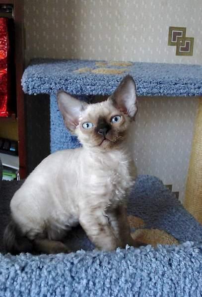 1440 X 2118 927.2 Kb Девон рекс - эльфы в мире кошек - у нас есть котята