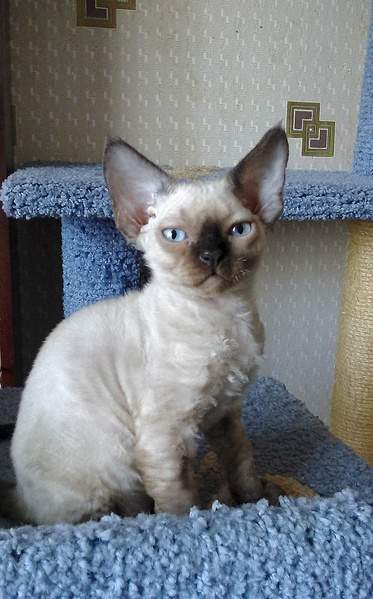 1440 X 2313 308.7 Kb 1440 X 2118 927.2 Kb Девон рекс - эльфы в мире кошек - у нас есть котята
