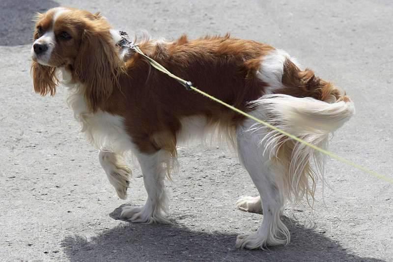 1920 X 1280 209.4 Kb Кавалер-кинг-чарльз-спаниель. Собака, создающая комфорт. Питомник Auroconcurr.