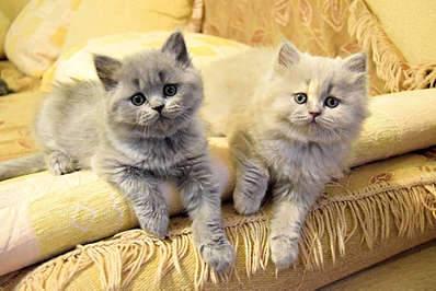 1920 X 1281 301.9 Kb Питомник британских кошек Cherry Berry's. Есть британские котята!