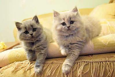 1920 X 1281 280.5 Kb 1920 X 1281 301.9 Kb Питомник британских кошек Cherry Berry's. Есть британские котята!