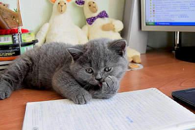 1920 X 1281 276.5 Kb Питомник британских кошек Cherry Berry's. Есть британские котята!