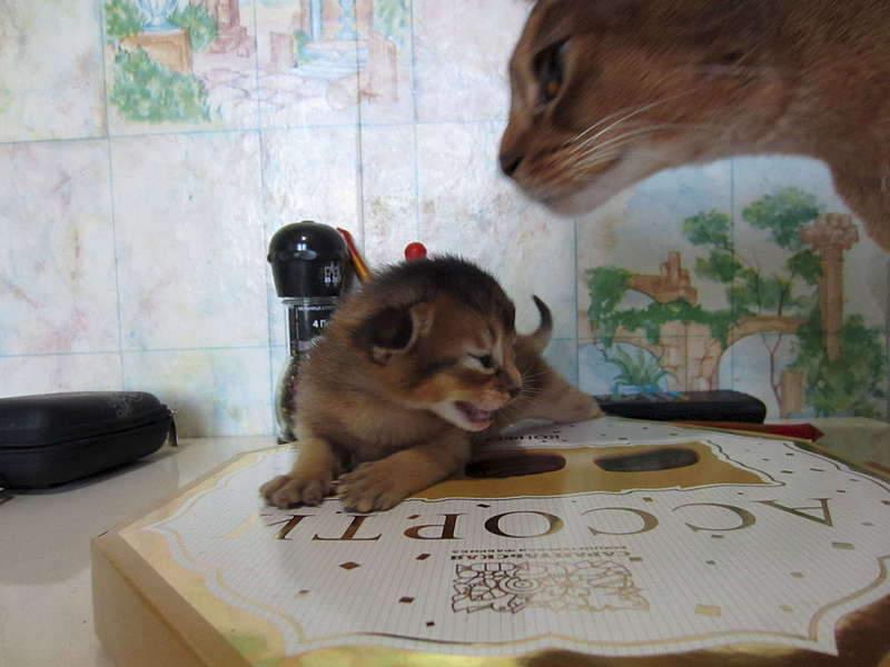 1920 X 1440 159.2 Kb Веточка для Коржиков и абиссинских кошек
