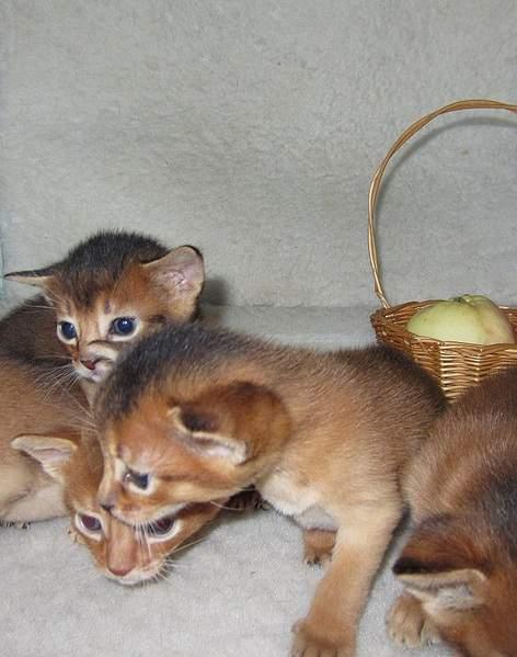 607 X 770 154.8 Kb 926 X 782 243.8 Kb Веточка для Коржиков и абиссинских кошек