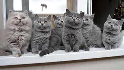1920 X 1079 266.3 Kb Питомник британских кошек Cherry Berry's. Есть британские котята!