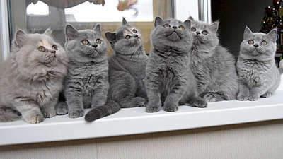 1920 X 1080 267.6 Kb 1920 X 1079 266.3 Kb Питомник британских кошек Cherry Berry's. Есть британские котята!