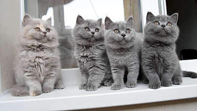 1920 X 1080 238.7 Kb 1920 X 1080 264.0 Kb 1920 X 1080 258.1 Kb 1920 X 1080 267.6 Kb 1920 X 1079 266.3 Kb Питомник британских кошек Cherry Berry's. Есть британские котята!