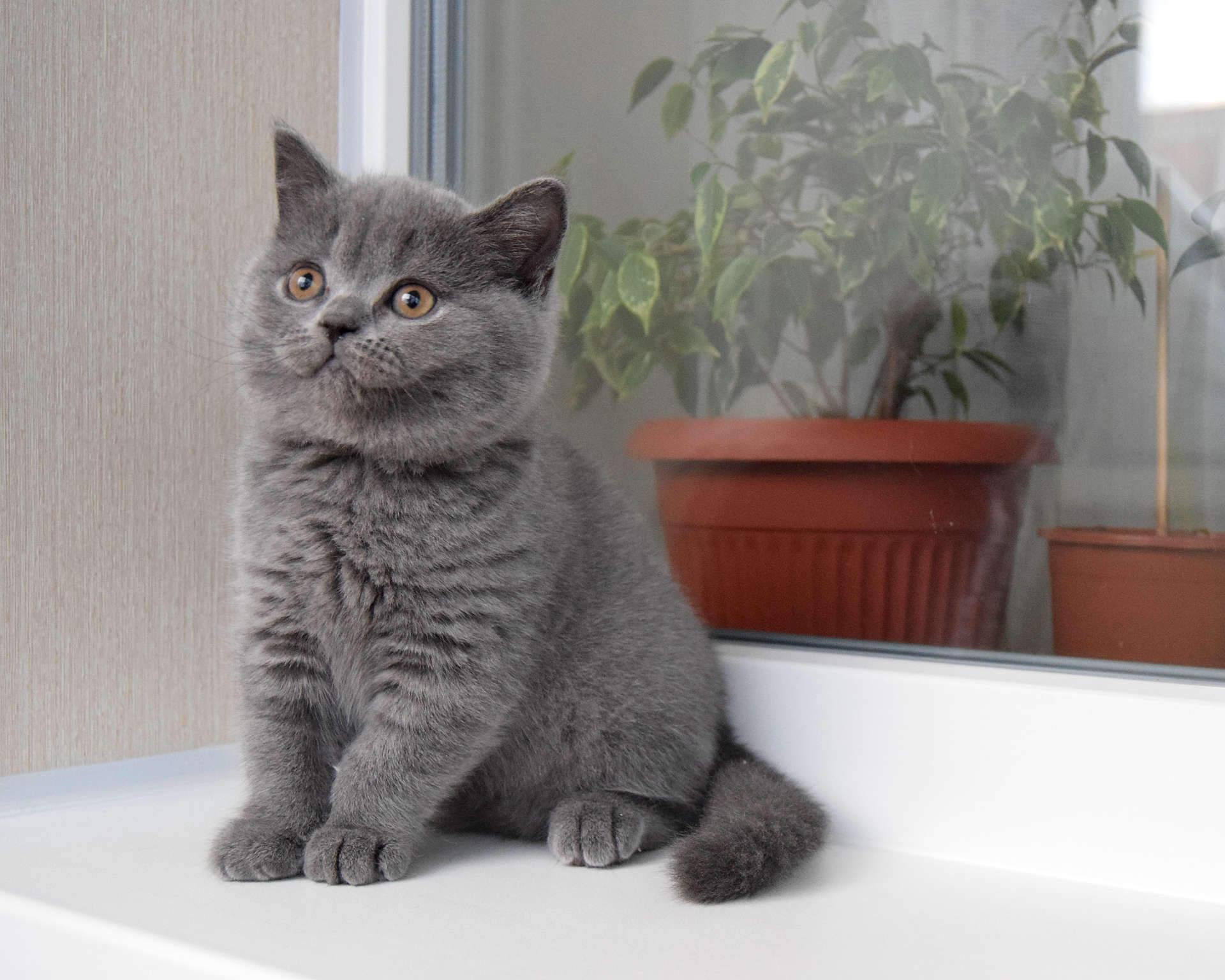 магические обряды британские котята фото серые процессе строительства для