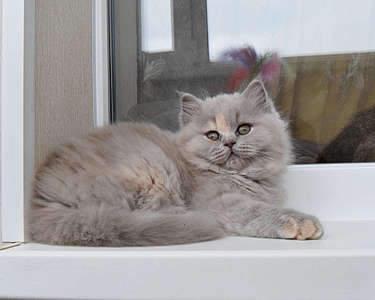 1920 X 1535 268.2 Kb Питомник британских кошек Cherry Berry's. Есть британские котята!