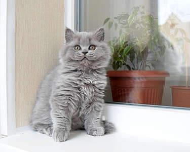 1920 X 1536 283.7 Kb 1920 X 1536 248.2 Kb Питомник британских кошек Cherry Berry's. Есть британские котята!