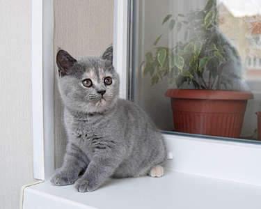 1920 X 1536 242.7 Kb Питомник британских кошек Cherry Berry's. Есть британские котята!