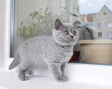 1920 X 1536 270.2 Kb 1920 X 1535 286.0 Kb Питомник британских кошек Cherry Berry's. Есть британские котята!
