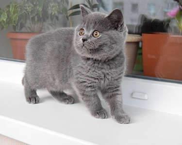 1920 X 1535 240.0 Kb 1920 X 1536 272.4 Kb Питомник британских кошек Cherry Berry's. Есть британские котята!