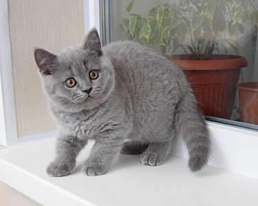 1920 X 1535 261.4 Kb Питомник британских кошек Cherry Berry's. Есть британские котята!