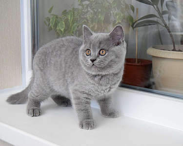 1920 X 1536 241.0 Kb 1920 X 1535 261.4 Kb Питомник британских кошек Cherry Berry's. Есть британские котята!
