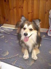 1920 X 2560 472.1 Kb маленькая собака в квартиру, яркая личность Флаффи Лев Мустангович