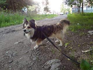 1920 X 1440 462.1 Kb 1920 X 2560 472.1 Kb маленькая собака в квартиру, яркая личность Флаффи Лев Мустангович