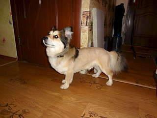1920 X 1440 195.6 Kb 1920 X 1440 462.1 Kb 1920 X 2560 472.1 Kb маленькая собака в квартиру, яркая личность Флаффи Лев Мустангович