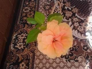 2048 X 1536 275.7 Kb ГИБИСКУС, или Китайская роза