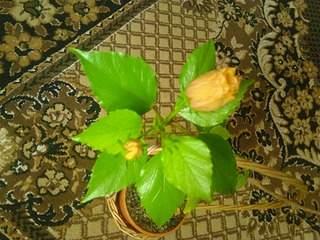 2048 X 1536 295.3 Kb 1536 X 2048 968.4 Kb 2048 X 1536 275.7 Kb ГИБИСКУС, или Китайская роза
