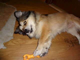 1920 X 1440 135.1 Kb 1920 X 1440 187.0 Kb маленькая собака в квартиру, яркая личность Флаффи Лев Мустангович