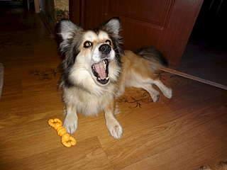 1920 X 1440 195.6 Kb 1920 X 1440 135.1 Kb 1920 X 1440 187.0 Kb маленькая собака в квартиру, яркая личность Флаффи Лев Мустангович