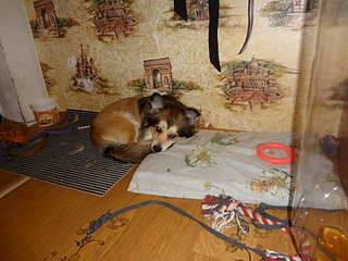 1920 X 1440 333.3 Kb 1920 X 1440 195.6 Kb 1920 X 1440 135.1 Kb 1920 X 1440 187.0 Kb маленькая собака в квартиру, яркая личность Флаффи Лев Мустангович