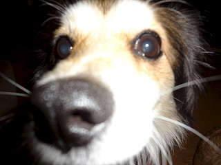 1920 X 1440 132.0 Kb маленькая собака в квартиру, яркая личность Флаффи Лев Мустангович