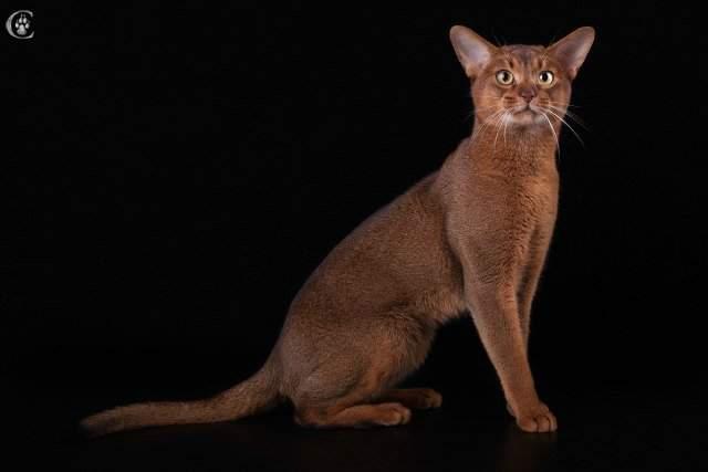 640 x 427 427 X 640 343.3 Kb Веточка для Коржиков и абиссинских кошек. У нас есть котята от Елочки