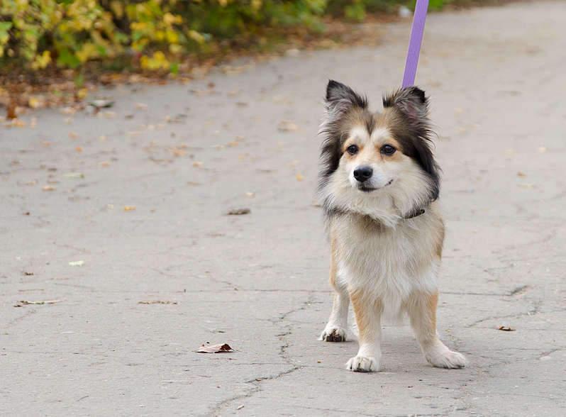 1920 X 1413 212.5 Kb маленькая собака в квартиру, яркая личность Флаффи Лев Мустангович