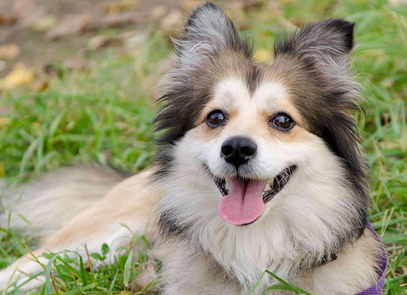 1920 X 1391 286.6 Kb маленькая собака в квартиру, яркая личность Флаффи Лев Мустангович