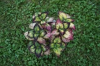 1280 X 852 279.4 Kb 1280 X 852 180.6 Kb 1280 X 852 231.4 Kb 1280 X 852 248.7 Kb 1280 X 852 237.7 Kb Выставка-продажа редких комнатных растений в Ижевске (3-4 октября, ТЦ ФЛАГМАН).