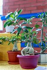 427 X 640 73.6 Kb Выставка-продажа редких комнатных растений в Ижевске (3-4 октября, ТЦ ФЛАГМАН).
