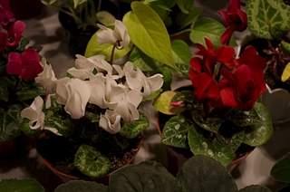 448 X 297 158.2 Kb 448 X 297 155.7 Kb 448 X 297 168.6 Kb 448 X 297 158.0 Kb Выставка-продажа редких комнатных растений в Ижевске (3-4 октября, ТЦ ФЛАГМАН).