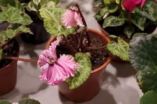 448 X 297 158.9 Kb 448 X 297 158.2 Kb 448 X 297 155.7 Kb 448 X 297 168.6 Kb 448 X 297 158.0 Kb Выставка-продажа редких комнатных растений в Ижевске (3-4 октября, ТЦ ФЛАГМАН).