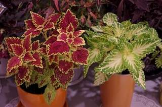 448 X 297 165.9 Kb 448 X 297 156.4 Kb Выставка-продажа редких комнатных растений в Ижевске (3-4 октября, ТЦ ФЛАГМАН).