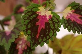 448 X 297 137.0 Kb 448 X 297 165.9 Kb 448 X 297 156.4 Kb Выставка-продажа редких комнатных растений в Ижевске (3-4 октября, ТЦ ФЛАГМАН).