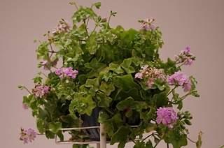 448 X 297 160.1 Kb 448 X 297 130.1 Kb 448 X 297 158.2 Kb 448 X 297 122.2 Kb 448 X 297 123.9 Kb Выставка-продажа редких комнатных растений в Ижевске (3-4 октября, ТЦ ФЛАГМАН).