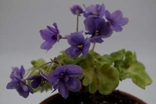 448 X 297 121.4 Kb 448 X 336 101.3 Kb Выставка-продажа редких комнатных растений в Ижевске (3-4 октября, ТЦ ФЛАГМАН).