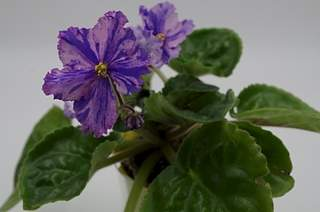 448 X 297 135.4 Kb Выставка-продажа редких комнатных растений в Ижевске (3-4 октября, ТЦ ФЛАГМАН).