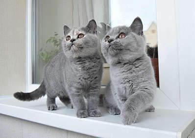 1920 X 1357 225.2 Kb Питомник британских кошек Cherry Berry's. Есть британские котята!