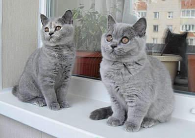 1920 X 1357 300.2 Kb Питомник британских кошек Cherry Berry's. Есть британские котята!