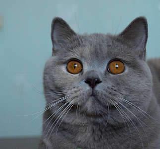 1920 X 1782 367.9 Kb Питомник британских кошек Cherry Berrys. Есть британские котята!