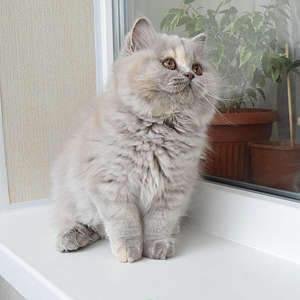 1920 X 1920 331.8 Kb Питомник британских кошек Cherry Berry's. Есть британские котята!