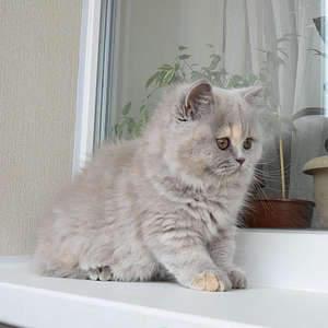 1920 X 1920 358.3 Kb 1920 X 1920 331.8 Kb Питомник британских кошек Cherry Berry's. Есть британские котята!